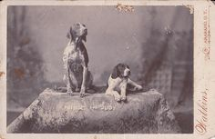 German Shorthaired Pointers, dated 1899