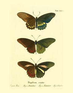 Butterflies Print, botanical