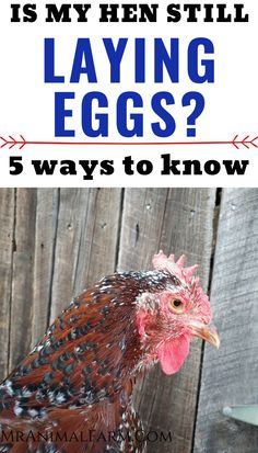 If you have a couple older hens in your flock it may be tough to tell if they are still producing. Here are a 5 ways to tell if your hen is still laying. #homesteadanimals #raisingchickens #homesteadlife Keeping Chickens, Raising Chickens, Backyard Farming, Chickens Backyard, Laying Hens, Egg Incubator, Healty Dinner, Chicken Feed, Types Of Animals