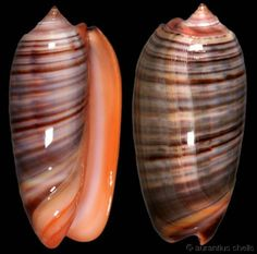 oliva shell | Fischer, H., 1903 Red-lip Olive Shell size 35 - 47 mm New Hebrides ...