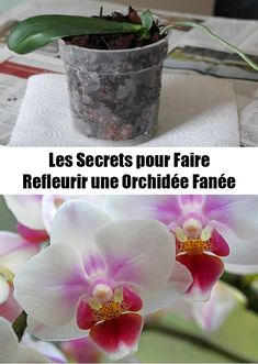 Here are the secrets to make a faded orchid bloom again - My WordPress Website Garden Online, Green Garden, Health And Nutrition, Horticulture, The Secret, Voici, Planters, Home And Garden, Bloom