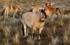 Wild Norwegian Fjord horses, near The Hague, Holland