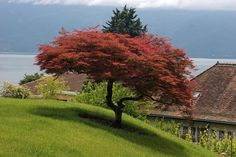 A Japanese Maple will be the first tree we plant when we build.
