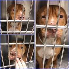***SUPER Urgent Dogs of Miami 12/22/16 ***Sweet Tank #A1817429 the #Sharpei mix boy has the cutest squishy face!! He is outgoing, energetic and super friendly, but so many people are passing him by for no good reason so he desperately needs YOUR HELP to save his life!!! (@urgentdogsofmiami)