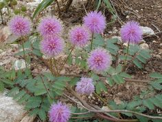 Sensitive briar is a low-growing mimosa with an unusual habit: Its leaves close up when touched. Commonly found in rocky or sandy soil throughout the Edwards Plateau, this ground cover with prickly stems has flowers that attract butterflies. Texas Plants, Texas Gardening, Seed Bank, Sandy Soil, Drought Tolerant Plants, Seed Pods, Native Plants, Garden Planning, Shrubs