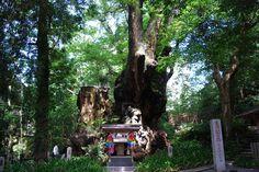 熱海のパワースポット「來宮神社」と、とっておきの裏路地カフェをめぐるパワーチャージの旅へ!│観光・旅行ガイド - ぐるたび Atami, Plants, Trees, Tree Structure, Plant, Wood, Planets
