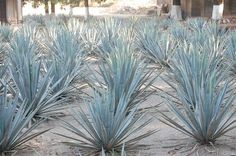 Blue Agave's around the Casa Noble hacienda.