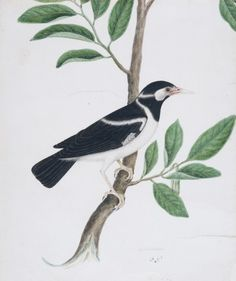 A Pied Myna Abil Khan (Indian) India, West Bengal, Kolkata (Calcutta), circa 1810 Drawings; watercolors Opaque watercolor and ink on paper 10 1/2 x 12 3/4 in. (26.7 x 32.4 cm) Indian Art Special Purpose Fund (M.85.222.1)
