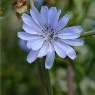 Just Seed Wild Flower - Chicory - Cichorium intybus - 3500 Seeds by Just Seed, http://www.amazon.co.uk/dp/B0084C74AA/ref=cm_sw_r_pi_dp_Ofgyrb03KA1AJ