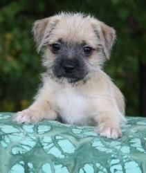 Paxton, Pesto and Picadilly is an adoptable Pug Dog in Darien, CT. Many of you have been following and supporting our Operation Little Dog program. This group of puppies are the leftovers that would h...