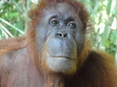 Image result for orangutan