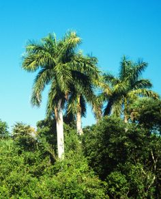 Types Of Palm Trees | Royal Palm native to Florida, in it's native habitat of Collier County ...