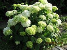 Hydrangea. (hortensia)