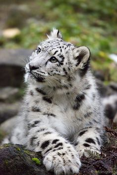 Daydreamer by Daniel Münger on 500px (6 months old snow leopard)