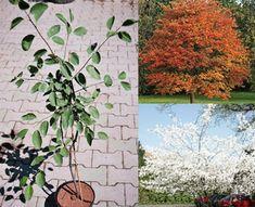 Snowy Mespilus, June Berry, Serviceberry, Apple Serviceberry   Muchovník lamarkov   Amelanchier lamarckii