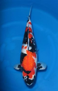 Showa Koi, Koi Fish Colors, Zoo Lights, Common Carp, Koi Painting, Japanese Koi, Koi Carp, Fish Ponds, One And Other