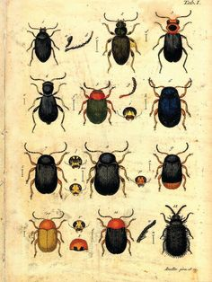 Beetles by curiousprints: Vintage Science Plate Poster. #Illustration #Beetles #Vintage