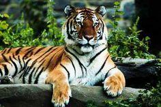 Tijgers zijn mijn lievelings dieren. dit is een Siberische tijger