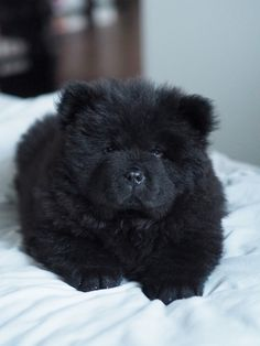 Chow chow puppy - just too cute!!!   Photo: Pupulandia