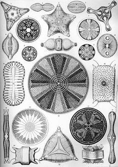 « Diatomea » : planche n°4 des Formes artistiques de la nature d'Ernst Haeckel.