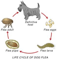 Natural Ways for Getting Rid of Dog Fleas - DreamyDoodles Northwest