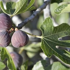 The wide-spreading roots of the common fig tree (Ficus carica) grow close to the soil surface. Because the roots do not grow downward to seek water, the tree suffers when the top. Ficus, Fruit Garden, Edible Garden, Herbs Garden, Fig Fruit Tree, Growing Fig Trees, Comment Planter, Fiddle Leaf Fig, Tree Care