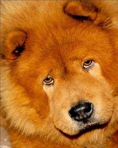 chow chow sad face