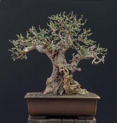 Olive Bonsai Tree Más