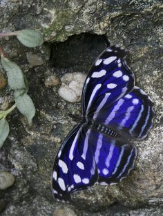 Tropical Blue Wave at Butterfly Rainforest - your purchase helps preserve habitat.