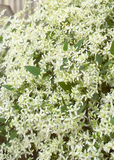 Sweet Autumn Clematis  Sweet autumn clematis is sure to fill your entire garden with its sweet scent at summer's end. This vigorous vine needs a sturdy support to climb on.