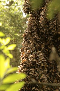 An amazing thing to see the forest in Mexico covered with monarchs.