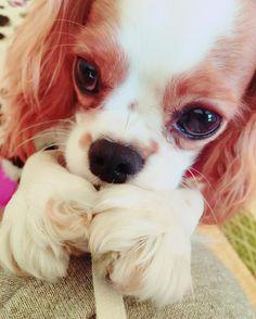 部屋着のヒモが犠牲になりつつある(´-`) けどこのお手手がたまらなく好きだからヒモの一本や二本どーでもいいʕ•̫͡•ʔ💓 #キャバリアキングチャールズスパニエル#キャバリア#cavalier#cavalierkingcharlesspaniel#cavalife#alice#dog#baby#puppy#犬#ふわふわ#ふわもこ部#キャバリア部#my_sister#inustgram#いぬすたぐらむ#犬のいる生活#いぬバカ部#女の子#girl#天使#しゃくれ#あご#可愛い#手#たまらぬ#ヒモ大好き