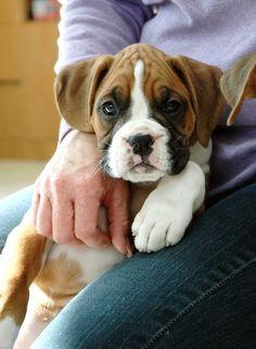 Sobe #boxerdog