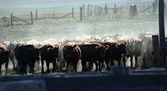 Fall Shipping at the Bannan Ranch in Harrison, NE. Photo by Carrie Bannan