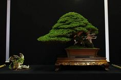 European Bonsai-San Show 2014 à Saulieu