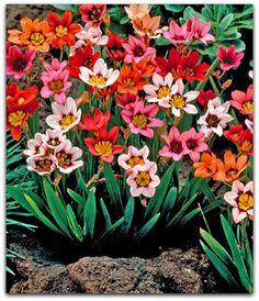 Esparáxis, Arlequina, Flor-arlequim, Íris, Sparáxis – Sparaxis tricolor http://sergiozeiger.tumblr.com/post/114400887893/esparaxis-arlequina-flor-arlequim-iris A esparáxis é uma planta bulbosa, de textura herbácea e florescimento vistoso. Ela é de porte ereto e baixo, com cerca de 20 a 45 cm de altura. As flores surgem em inflorescências terminais, sustentadas acima da folhagem por hastes longas e eretas. As flores apresentam seis pétalas tipicamente vermelhas ou alaranjadas, com centro…