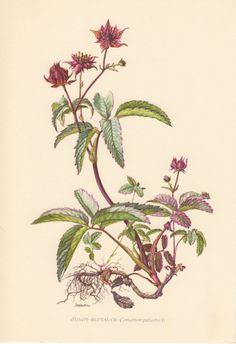 1955 Purple Marshlocks, Antique Botanical Print, Vintage Lithograph, Comarum palustre, Rosaceae, Botany, Garden, Flowers