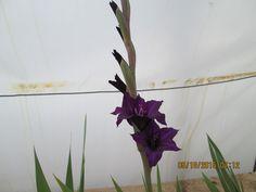 Y los Gladiolos empezaron a florecer.