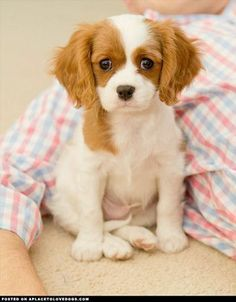 Cavalier King Charles Spaniel is a spaniel type toy dog breed.Cavalier King Charles Spaniels have been the most owned dog breed in United. Best Small Dog Breeds, Best Small Dogs, Cute Small Dogs, Animal Gato, Mundo Animal, Baby Animals, Cute Animals, Love My Dog, Spaniel Puppies