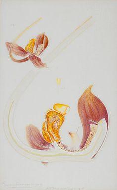 Gongora orchid by Arthur Harry Church - print