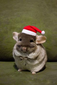 Chinchilla in a Santa hat! Happy Animals, Animals And Pets, Funny Animals, Cute Animals, Chinchilla Baby, Pugs And Kisses, Hamster, Cute Mouse, Christmas Animals