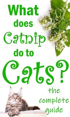 Why Do Cats Love Catnip? - What is catnip and what does it do to cats? Is it a drug, addictive or harmful? Find out all about this 'magic' herb and the effect it has on our cats as well as how to grow your own Cat Care Tips, Dog Care, Catnip Plant, Cat Crying, Cat In Heat, Cat Body, Magic Herbs, Cat Allergies, Cat Attack