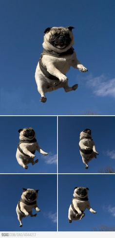 Flying #pug. Someone somewhere is flinging this poor cutie repeatedly into the air just for a spot on Pinterest.  Well done! jh