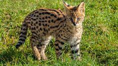 Frivillig arbeid med kattedyr i Sør-Afrika