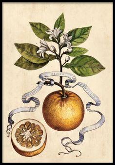 Vintage-planche med illustration af appelsin og blad