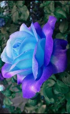 Rare Flowers Blue Perennials – Famous Last Words Beautiful Rose Flowers, Rare Flowers, Flowers Nature, Exotic Flowers, Amazing Flowers, Colorful Flowers, Flowers Perennials, Planting Flowers, Purple Roses