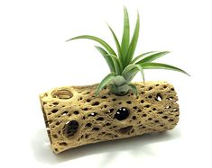 Cholla Wood (large) // Tillandsia Mount // Air Plant Holder // Hello Tilly Airplant