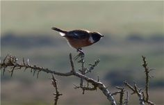 Stonechat, RSPB South Stack, Anglesey, November 2013