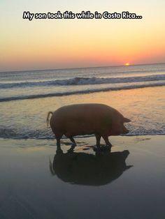 This Little Piggy Went For a Walk