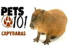 Pets 101- Capybaras  @Margot Potter   THIS IS WHAT I WAS TALKING ABOUT a while ago but i was calling them something crazy wrong